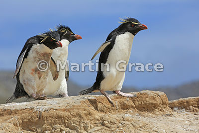 Airborne Southern Rockhopper Penguin (Eudyptes chrysocome chrysocome) heading for the sea, Cape Coventry, Pebble Island
