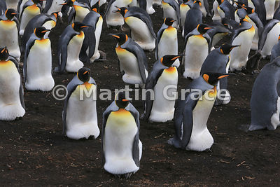 Brooding area of King Penguin (Aptenodytes patagonicus) Volunteer Point colony, with adults incubating eggs or brooding young...
