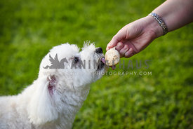 Small white dog sharing ice cream with owner