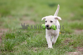 Puppy carrying bone toy