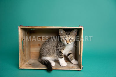 tabby kitten in wooden crate on teal background