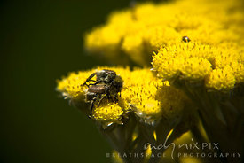 Beetles mating on yellow flowers