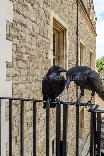 Ravens At The Tower Of London (2)