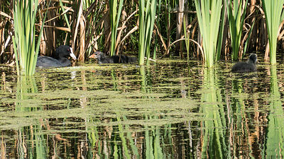 Eurasian Coot with young in water reflected reedlands