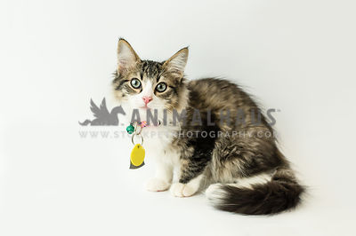 long-hair shelter kitten with wide eyes