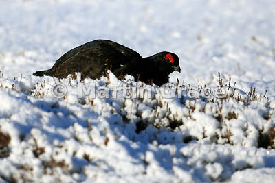 Male Black Grouse (Lyrurus (Tetrao) tetrix) feeding on Heather (Calluna vulgaris) by the lek, Royal Deeside, Scotland