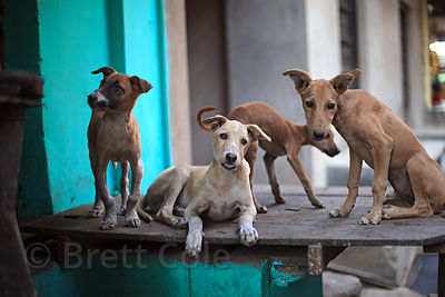 Stray dogs sit on a ledge in a street filled with sweets-making shops, keeping warm near the ovens, Pushkar, Rajasthan, India.