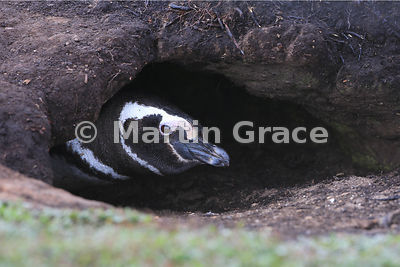 Magellanic Penguin (Spheniscus magellanicus) at the entrance to its nest burrow, Pebble Island, West Falkland