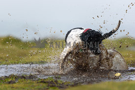 Black and White Springer Spaniel chasing ball in puddle