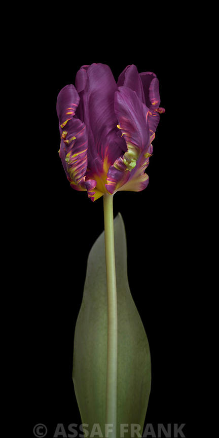 Rcoco tulip, side view