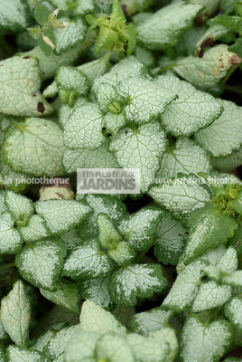 Lamium maculatum 'White Nancy', Collection Pépinières Lepage