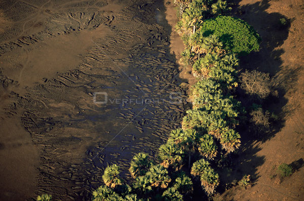 Aerial view of Hippopotamuses {Hippopotamus amphibius} wallowing in shallow water during dry season, Katavi National Park, Ta...