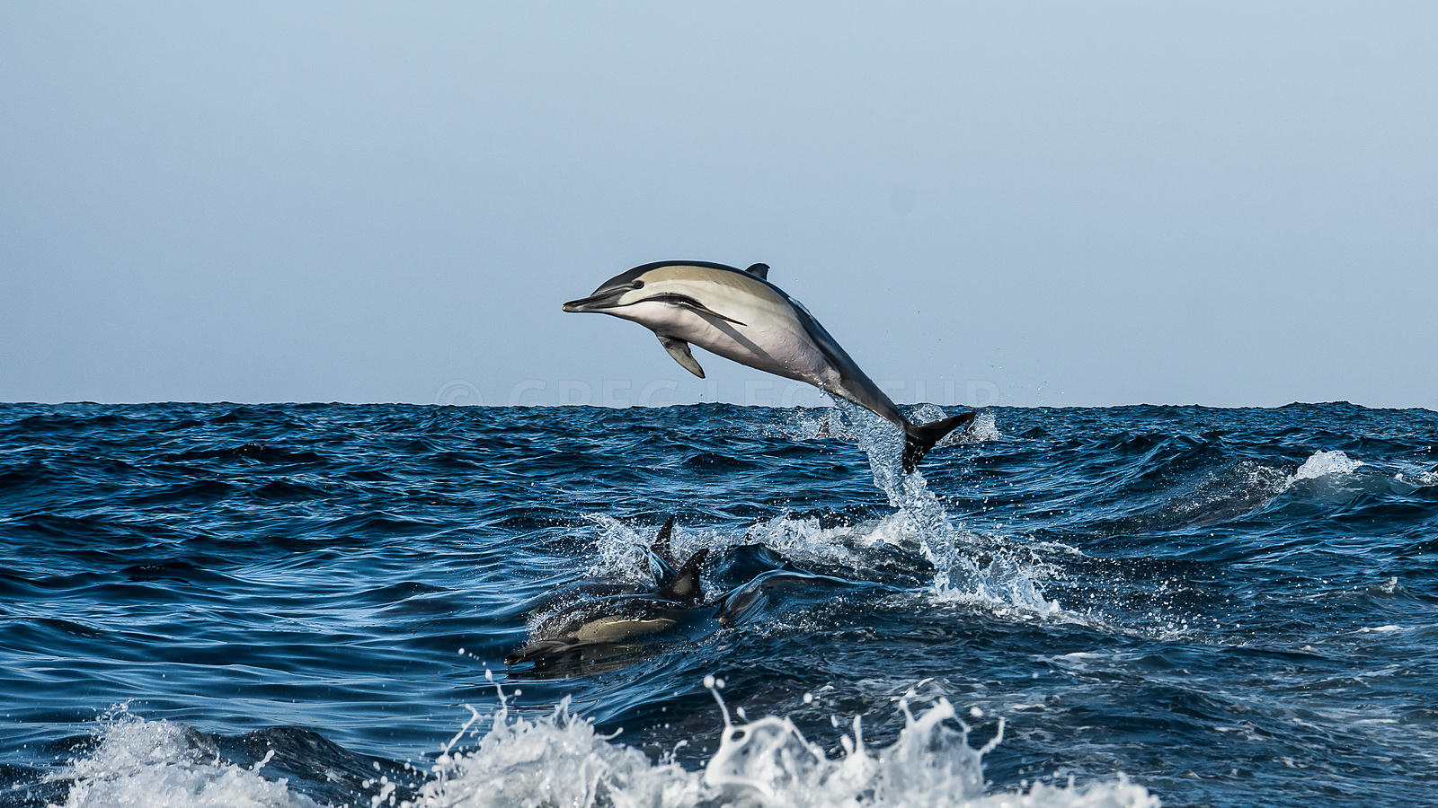 Sardine Run 2016, Common dolphins