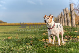 Jack Russell Terrier in a vineyard in the autumn.