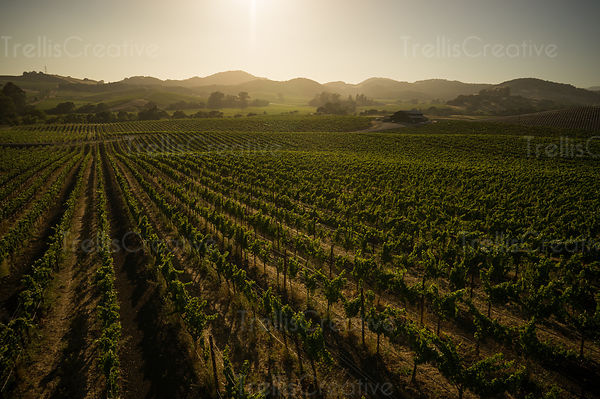 Rolling hills of vineyards in carneros, Napa Valley on a warm summer evening