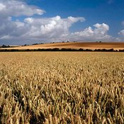 Wheat fields and Wilton Windmill, Wiltshire