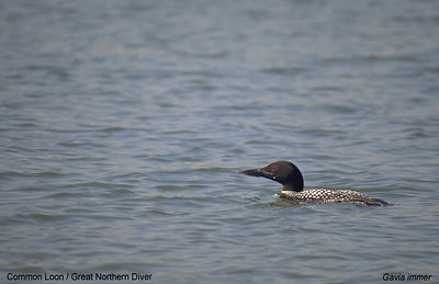 March - Common Loon
