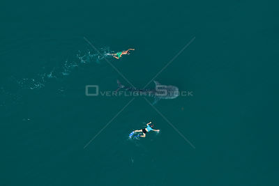 Whale shark (Rhincodon typus) aerial view of juvenile with two people swimming alongside, La Paz Bay, Sea of Cortez (Gulf of ...