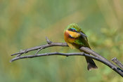 Little bee-eater meeting your glance