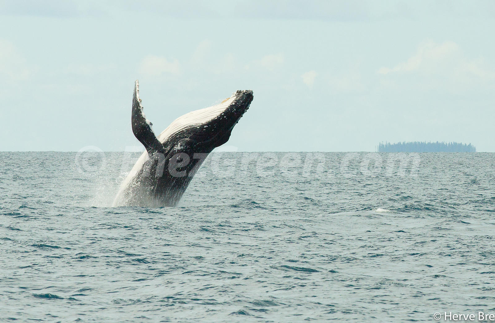 Humpback whale jump in New-Caledonia