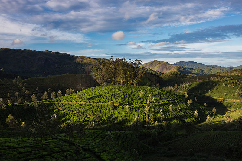 Roadside View of Munnar Tea Plantations