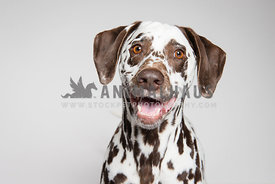 A happy liver dalmation on a white background