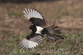 Eurasian Magpie Pica pica Spain winter