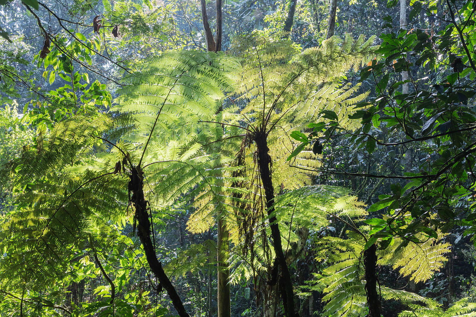 Giant Ferns in the Forest