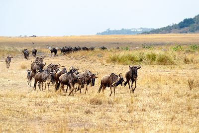 Line of Wildebeest Running in Africa