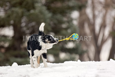 Australian Shepherd playing with a toy in winter