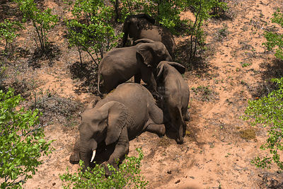 Aerial view of tranquillised Elephants (Loxodonta africana). The Elephants had been darted from a helicopter in order to be r...