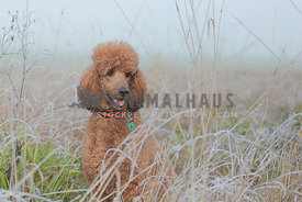 Brown Standard Poodle posing in frosty grass