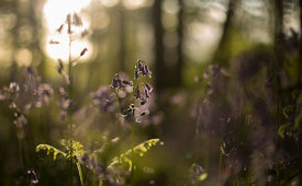 Bluebells_at_Sunset