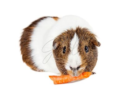 Pet Guinea Pig Eating Carrot