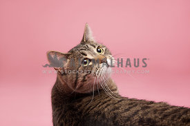 brown tabby cat laying on a pink background looking back