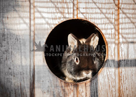 Miniature rabbit looking out of a circular hutch of a circular hutch