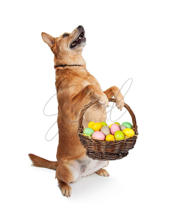 Carolina Dog Carrying Easter Basket