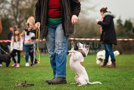 jack russell terrier performing trick at dog show
