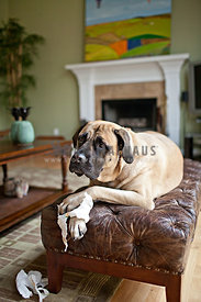 naughty english mastiff sitting on leather chair chewing paper towel