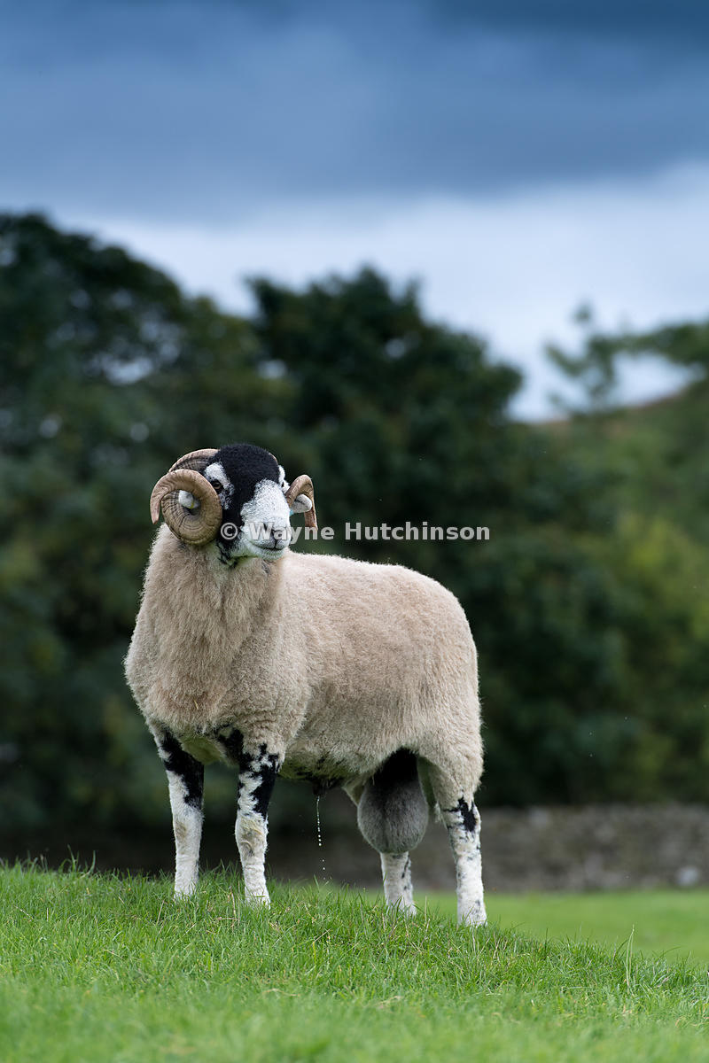 Swaledale ram in pasture, standing and looking alert. North Yorkshire, UK.