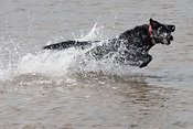 Black labrador playing in sea