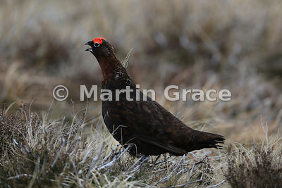 Male Red Grouse (Lagopus lagopus scotica) calling, Lochindorb, Scottish Highlands