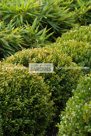 Buxus sempervirens, Conception et réalisation :  James et William Hartley. English Garden Group