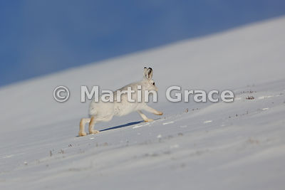 Mountain Hare (Arctic Hare) (Lepus timidus) running up a snow slope, February 13, Strathdearn, Scottish Highlands