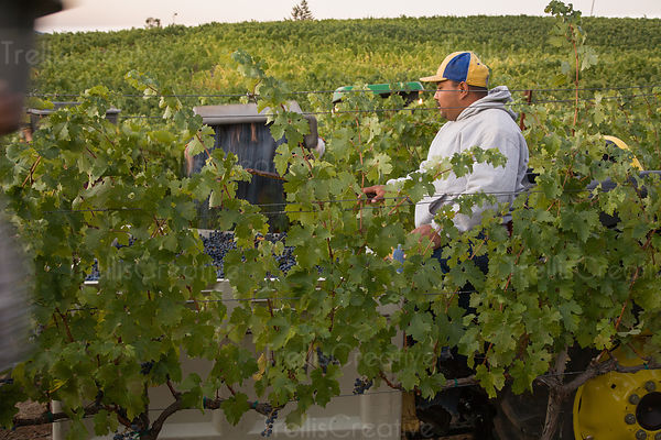 Workers in a vineyard bring in a grape harvest.