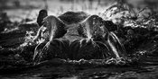 4111-Hippo_out_of_the_water_Botswana_2009_Laurent_Baheux