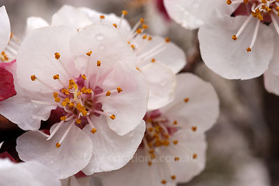 Apricot flower.