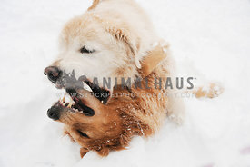 Golden Retrievers Play Fighting in the snow, close up of faces