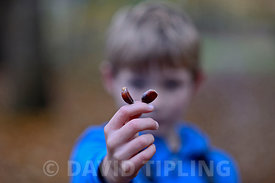 Young boy holding up Sweet Chestnuts in woodland autumn Norfolk