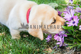 Labrador Retreiver puppy sniffing the flowers